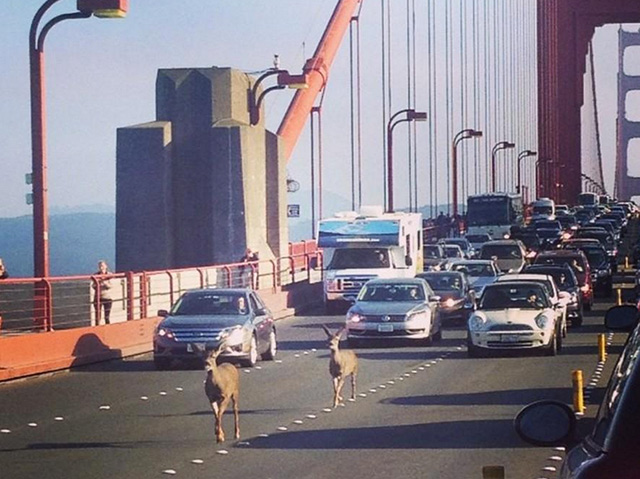 deer-golden-gate-bridge.jpg